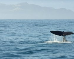 Whalewatching Walbeobachtung Schwanzflosse