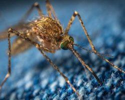 australien mit mueckenvirus